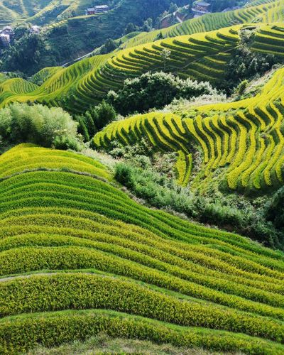 China Guilin Nature Tea Crop Terraced Field Rural Scene Mountain Agriculture Field Beauty Tree Rice Paddy Crop  Plantation Agricultural Field Cultivated Land Farm Patchwork Landscape Cultivated