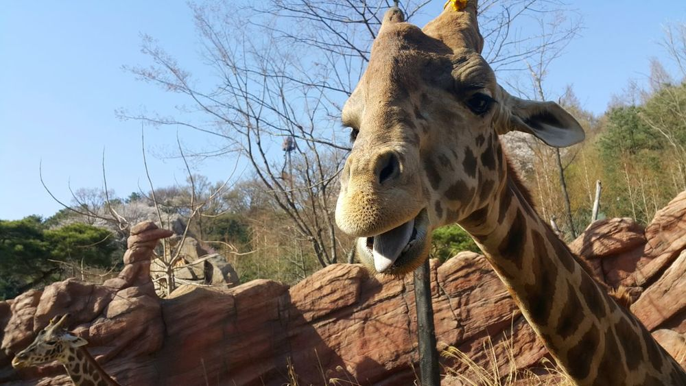One Animal Animal Wildlife Animals In The Wild Animal Themes Animal Mammal Day Nature Outdoors Low Angle View No People Safari Animals Domestic Animals Close-up Photoshoot Photo Photography Sky TreeEyeEm Best Shots Landscape EyeEmNewHere Giraffe Safari Everland