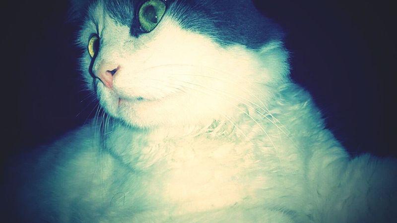 Maylo Mars Cat Lovers Domestic Cat Cat Pets Animal Themes Feline Close-up LeChat Taking Photos Horreur قطوس بيسي Animal Animal Head  Bébé ♥