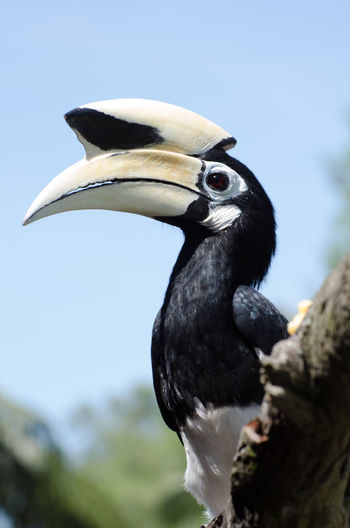 Low Angle View Of Oriental Pied Hornbill Perching On Branch