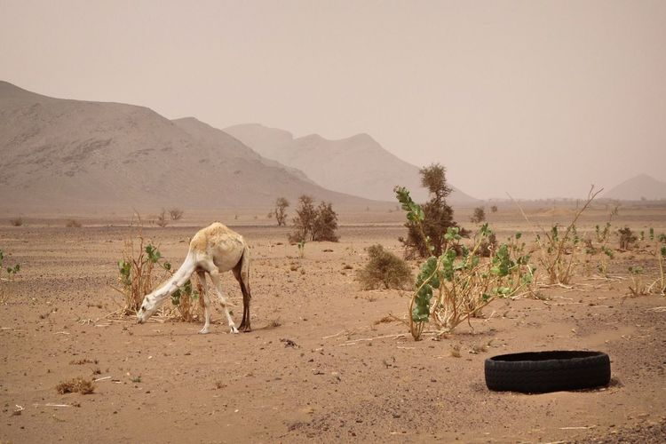 Sahara Mauritania Tire Littering Litter Pollution Dromedary Camel Landscape Desert Mammal Animal Themes Environment Animal Nature Land Sky Mountain Plant No People Side View One Animal Animal Wildlife Tree Sand Day Scenics - Nature Domestic Animals My Best Travel Photo