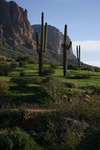 After the rains the desert floor is so green Arizona Beauty In Nature Desert Beauty Desert Landscape Grass Landscape Landscape #Nature #photography Landscape_photography Lost Dutchman State Park Mountains And Cactus Rock Formation Saguaro Cactus Saguaros Tranquil Scene Tranquility Apache Junction AriZona♡