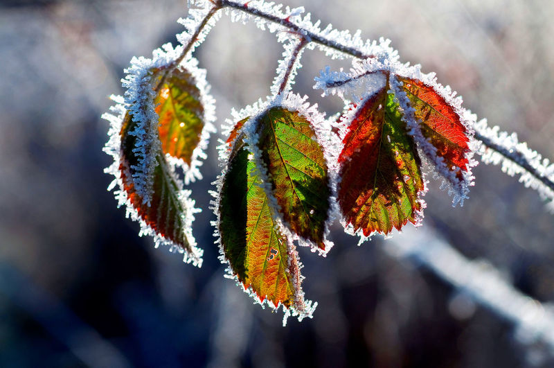Close-up of frozen leaves hanging on branch during winter