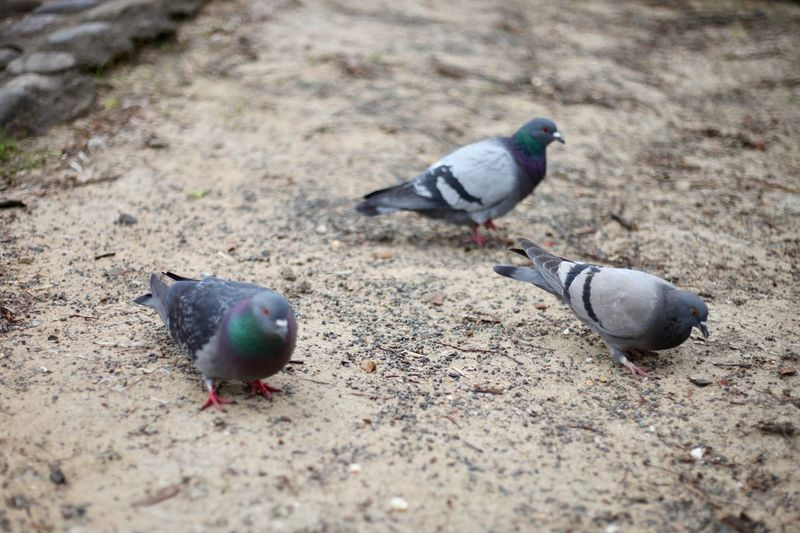 High angle view of pigeon perching on a land