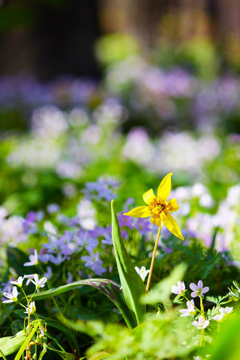 Beauty In Nature Blooming Close-up Day Field Flower Flower Head Forest Floor Fragility Freshness Growth Nature No People Outdoors Petal Plant Springtime Trout Lilly Wood Violet Yellow