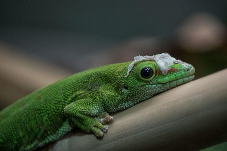 geco Acquario Acquario Di Genova Acquarium Acquariodigenova Rettile Reptile Close-up Green Color Gecko