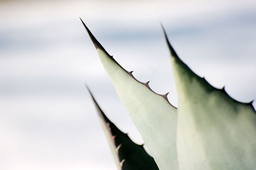 Street jaws Leaves🌿 Plant Spikes Succulents Winter Wintertime Beauty In Nature Close-up Day Fleshyplants Leaves Nature No People Outdoors Selective Focus Sharp Street Photography Streetphotography Succulent Plant Teeth Three