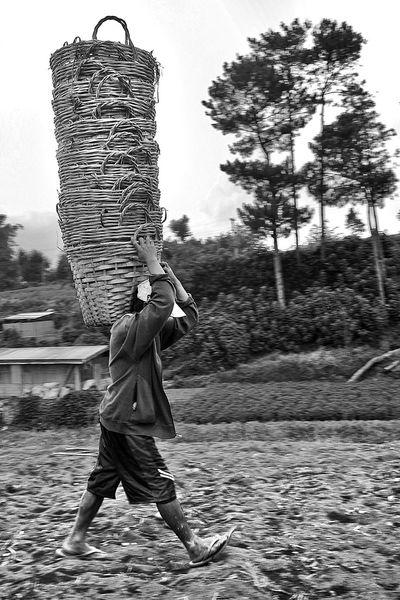Harvest time People One Person Eyem Philippines Real People WeekOnEyeEm EyeEm Gallery Bnw_friday_eyeemchallenge Bnw_worldwide Bnw_life Eye4black&white  Working Working Hard Farm Life Farming Life Agriculture Agriculture Photography Agriculture Way Agricultural Land