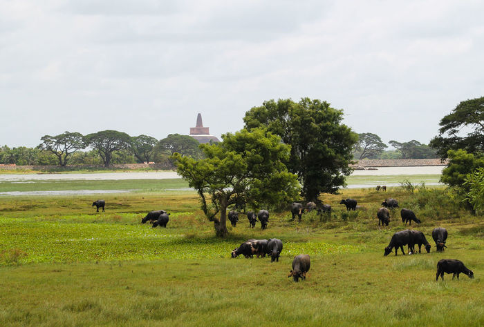 Beautiful scenery of Sri Lanka with a view of the cows in the field Animal Themes Architecture Beauty In Nature Built Structure Cloud - Sky Cows Cows In The Feilds Day Domestic Animals Field Grass Green Color Landscape Large Group Of Animals Mammal Nature No People Outdoors Sky Tree Eyeemtravel