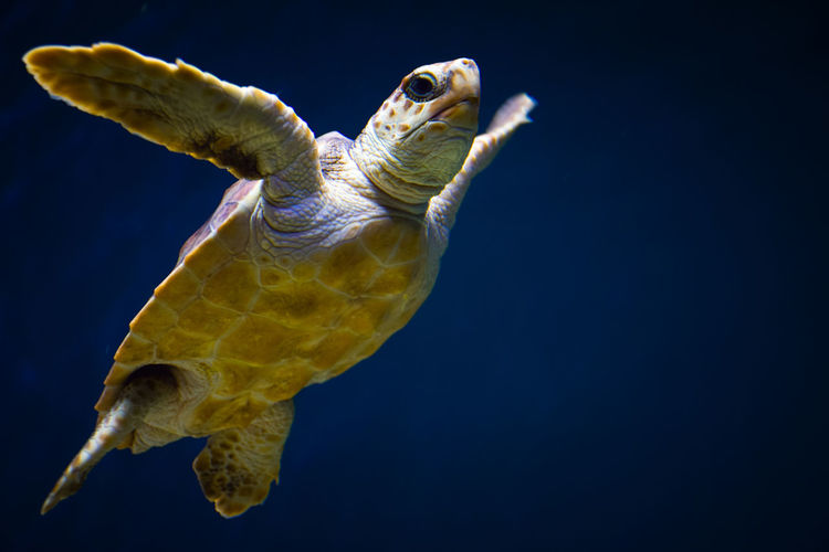 Close-up of sea turtle swimming in sea