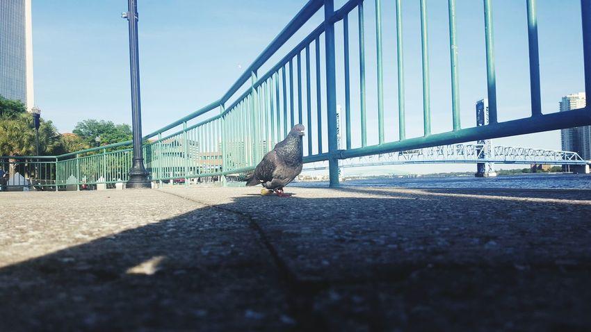 Found myself a little friend One Animal Water Footpath Outdoors Pigeon Little Creatures JacksonvilleFL