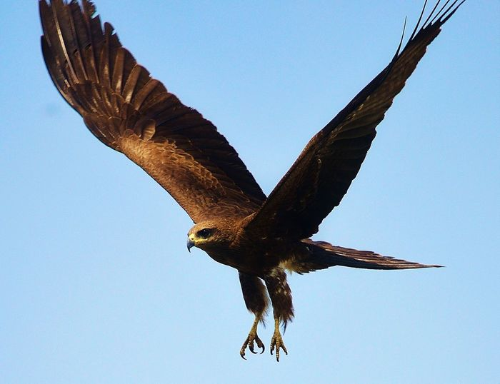 Low Angle View Of Golden Eagle Flying Against Blue Sky