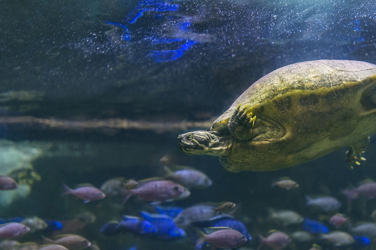 Close-up of turtle swimming in aquarium