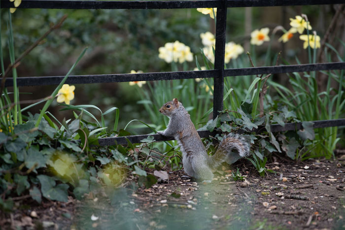 Animal Wildlife Animals In The Wild Animals In The Wild Fence London Manor House Gardens Park Rearing Up Single Animal Spring Springtime Squirrel