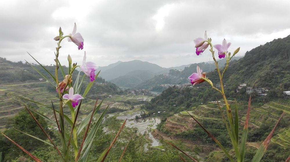 IG: monazqq Banaue Rice Terraces Beauty In Nature Blooming Cloud Cloud - Sky Flower Freshness Growth In Bloom Landscape Mountain Nature Philippines Pink Color Plant Sky The Great Outdoors