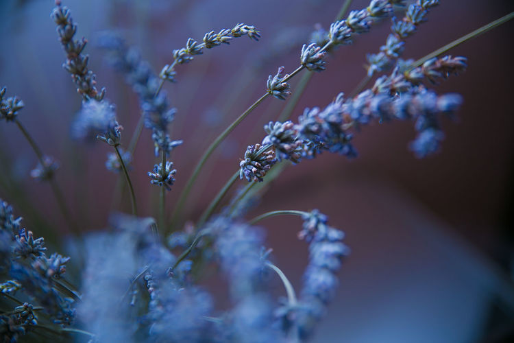 Blue Close-up Colors Dramatic Angles Flowers Flowres Freshness Home In Bloom Lavender Lavender Field Light Nature Pink Plant Plant Life Selective Focus Softness TakeoverContrast Tranquility Violet Maximum Closeness Focus Object