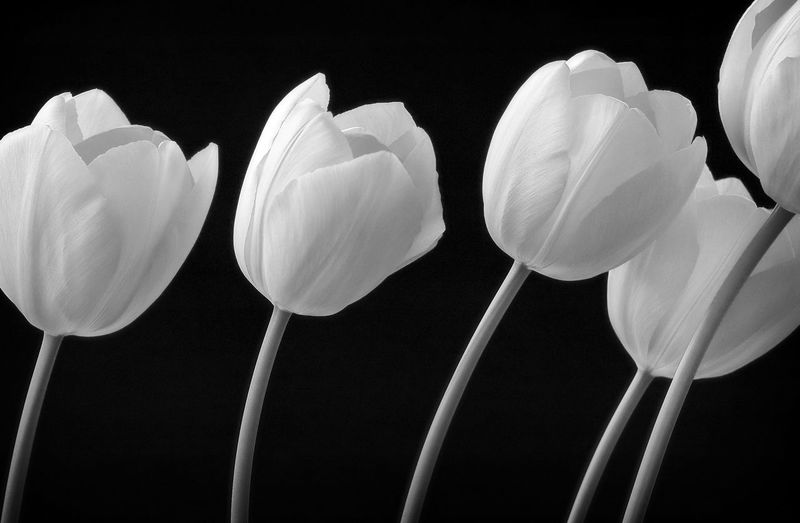 Five tulips Black Background Close-up Dark Flower No People Petal Repetition Studio Shot Tulips🌷