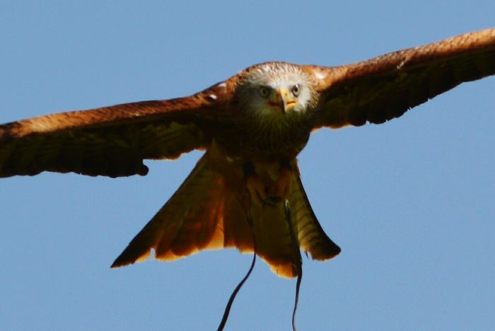 In Flight Wings Spread Capturing Movement Wings Bird In Flight Falconry Display Birds Of Prey Flying Bird Red Tailed Kite Kite British Birds Close Up Nature Photography Wildlife Photography