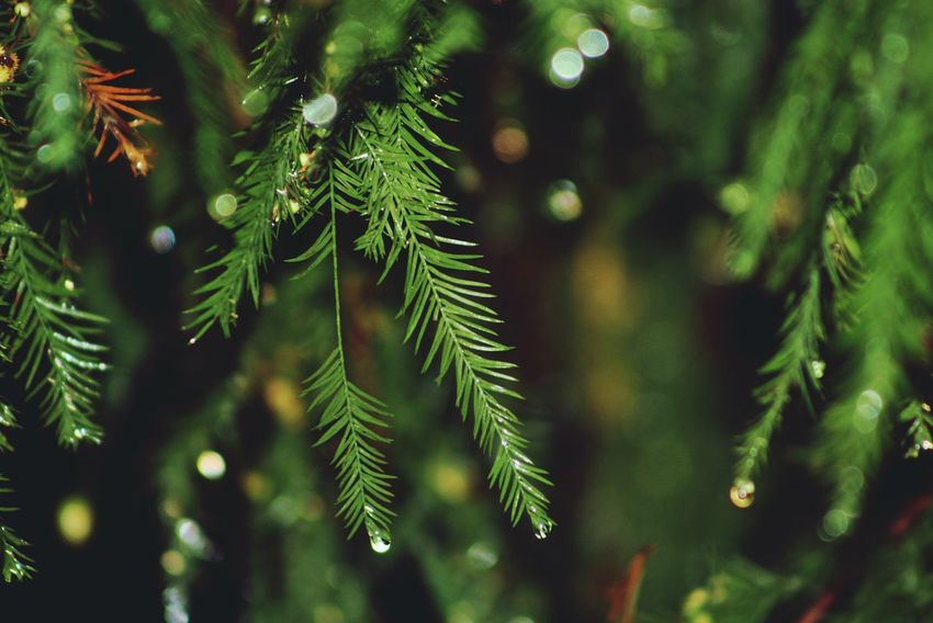 Waterdrops Pinetrees Christmastime Light And Shadow Sitram Photo's TreePorn Tree_collection  Dripping Raindrops
