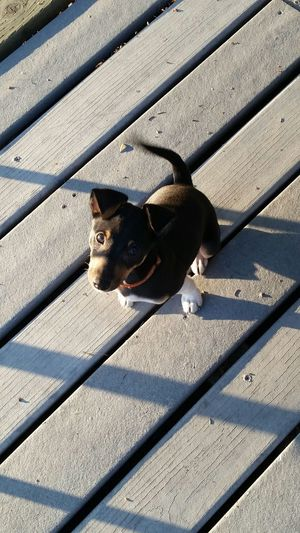 High Angle Portrait Of Puppy On Boardwalk