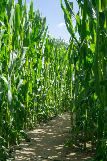 In corn labyrinth - corn field in summer sun Agriculture Labyrinth Summertime Agricultural Land Agriculture Cornfield Day Field Green Color Growth Leaf Nature No People Outdoors Plant Sky Summer