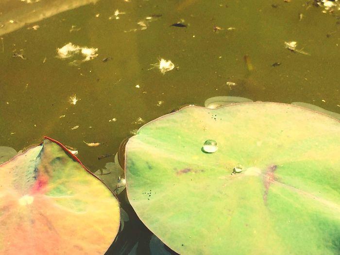 Green Leaves Lotus By Lemonni
