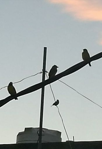 Low Angle View Silhouette Perching Birds Early Evening Wires And Cables