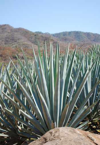 Agave Agave Fields Agave Plant Clear Sky Day Field Mexico Mountain Nature Outdoors Plant San Sebastian Del Oeste Succulent Tequilla Tourism Travel