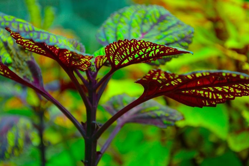 Wizard Plant Beauty In Nature Close-up Green Green Color Leaf Leaf Vein Leaves Natural Pattern Nature Outdoors Plant Red Selective Focus Stem Green Leaves Maroon Leaves🌿 Leaf Veins Underneath Plants Wizard Wizard Plant Colorful Henry Ford Estate Dearborn