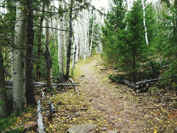Its My Nature Mountains Trees Aspens Pinetrees So Beautiful  Hiking Adventures Hiking Utah Utah 11 Miles Fall Leaves Follow_me Path