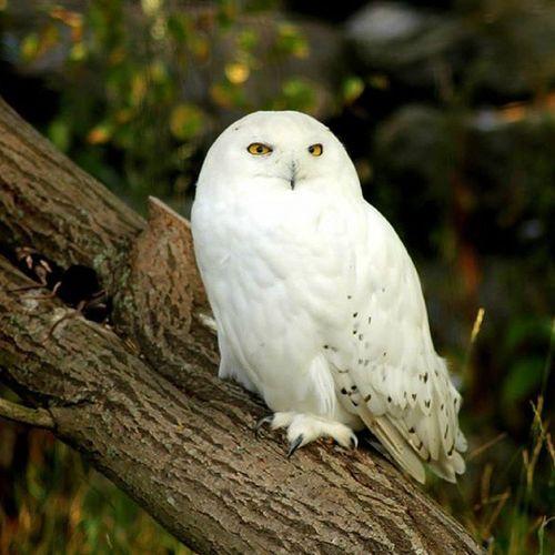 Hedwig Owl Tunturipöllö Pollo hp
