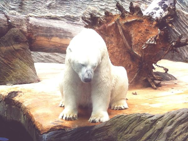 Bear White in Prague Zoo