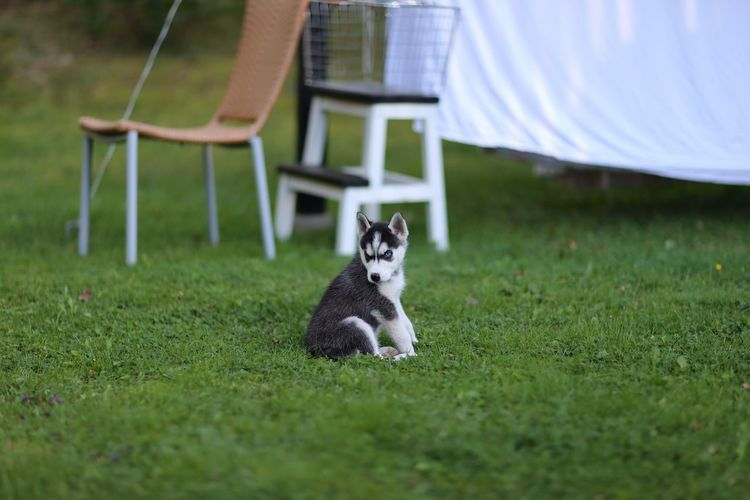 Taking Photos Pet Siberian Husky Puppy Valp Garden Pets Hund Husky Kungshamn