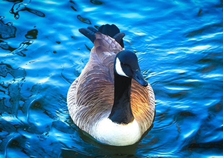 Swimming Animal Themes Animals In The Wild Water Bird One Animal Animal Wildlife Nature Lake Waterfront No People Outdoors Water Bird Floating On Water Day Beauty In Nature Close-up