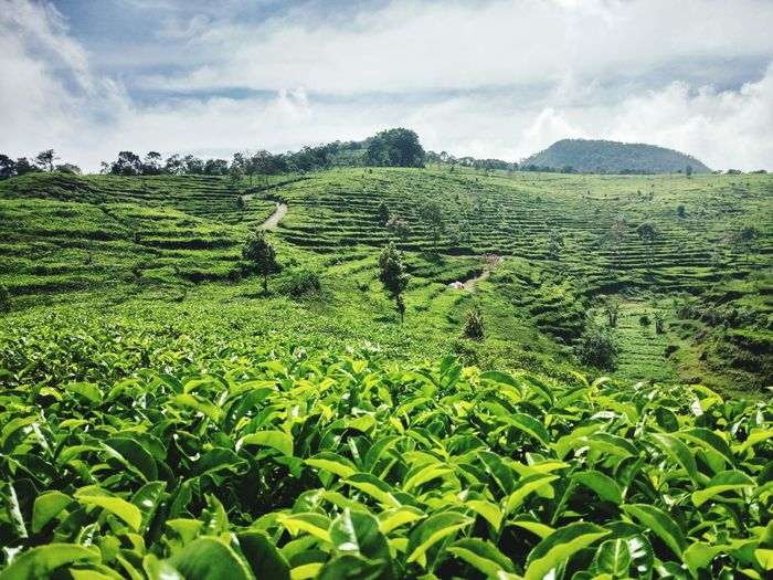 Tea Nature