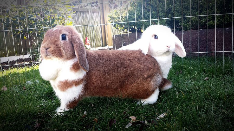 White Rabbit♡○°• Chili & Murphy •°○♡ Brown Rabbit
