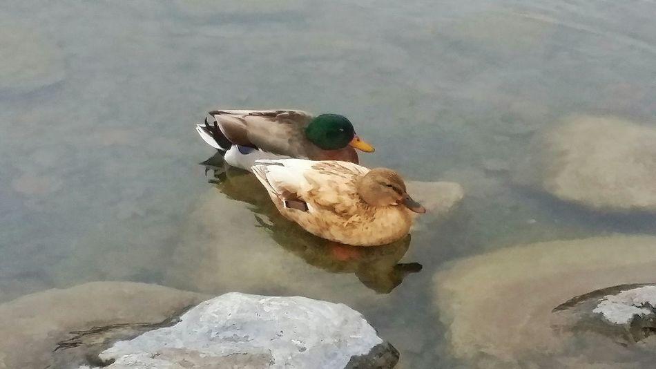 I Love Ducks Wildlife Photos Beauty In Nature Eyeem_bestshots Popular Photos DUCKS :) Eyeem_great_captures EyeEm Animal Lover The Great Outdoors At The Duck Pond