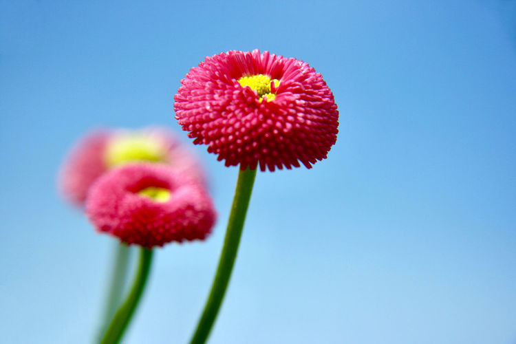 Flowering Plant Flower Freshness Plant Fragility Beauty In Nature Vulnerability  Pink Color Close-up Flower Head Petal Inflorescence Nature Blue Sky No People Clear Sky Growth Plant Stem Daisy Springtime Blue Background Bellis Perennis Spring Summer