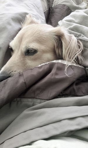 """""""Happy Holidays, dear friends🐾"""" Animal Themes AntiM Bed Close-up Day Dog Dog In Bed Dogs Portrait Domestic Animals Indoors  Lying Down Mammal No People One Animal Pets Relaxation SweetSally"""
