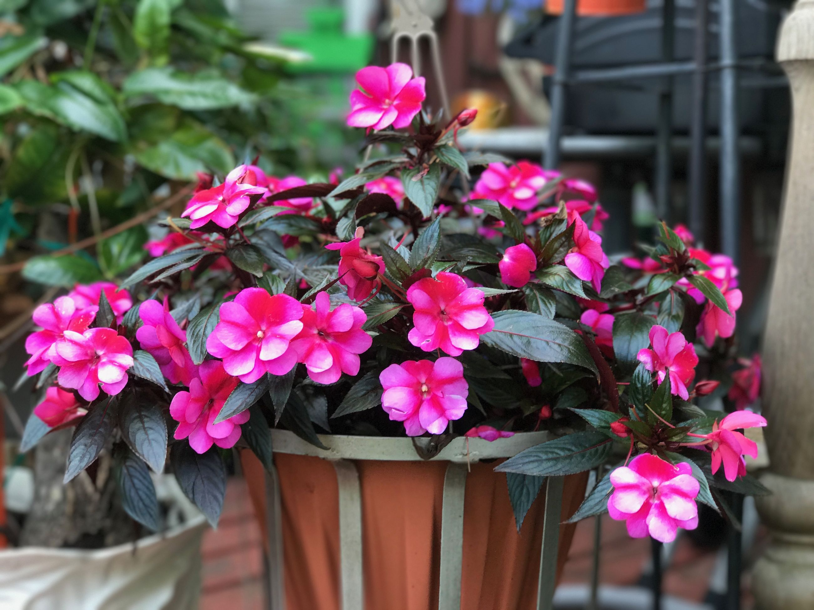 flower, pink color, no people, plant, growth, day, outdoors, nature, focus on foreground, potted plant, petal, freshness, beauty in nature, fragility, front or back yard, close-up, blooming, leaf, flower head, periwinkle