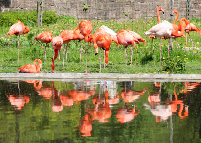 View Of Flamingoes With Reflection