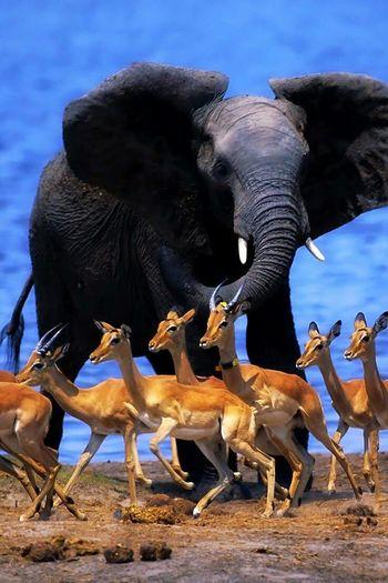 Elephant ♥ EyeEm Animal Lover Animal Photography Elephants <3 EyeEm Best Shots Eyem Best Shot Awesome_shots Awsomenature Amazing_captures Best View