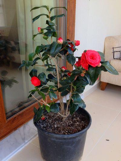 Kamelya Camellia Flower Redcamellia çiçek Kırmızıkamelya Izmir Womanofthecamellias Kamelyalıkadın