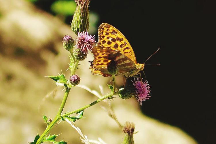 Flower Insect One Animal Animals In The Wild Animal Themes Nature Fragility Butterfly - Insect Plant No People Growth Pollination Flower Head Outdoors Freshness Day Beauty In Nature Close-up Perching