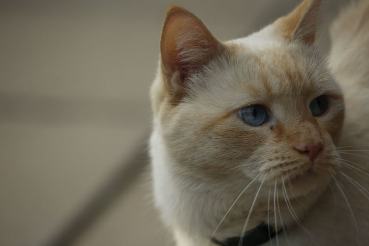 Blue eyes Nature Photography Nature Animal Photography Cats Of EyeEm Cat Photography Taking Photos Pets Portrait Feline Domestic Cat Whisker Close-up Animal Eye Eye Eye Color Kitten