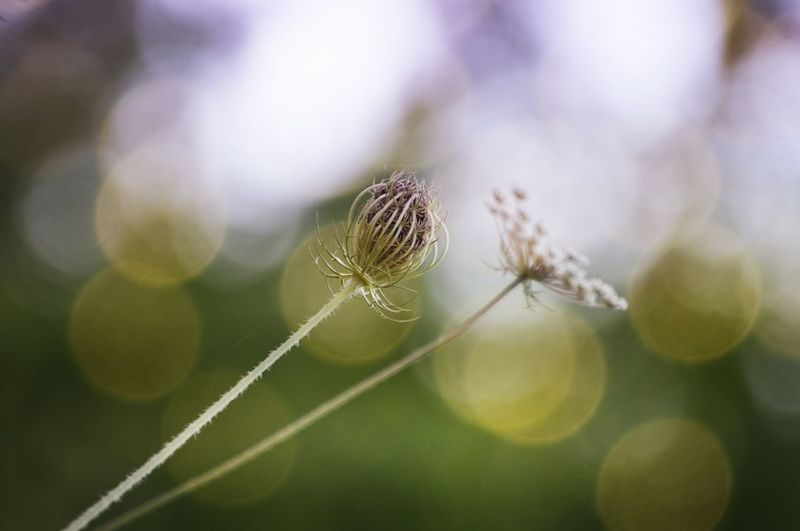 . Close-up Plant Fragility Beauty In Nature Selective Focus Nature No People Flower Vulnerability  Focus On Foreground Freshness Day Flowering Plant Outdoors Growth Macro Springtime Softness Dandelion Seed Stefanomassa