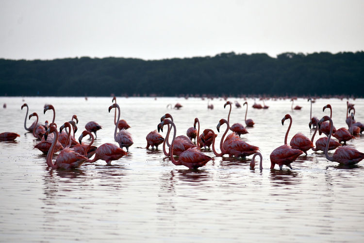Group of pink flamingos in shallow water at ría celestun, yucatán, méxico.