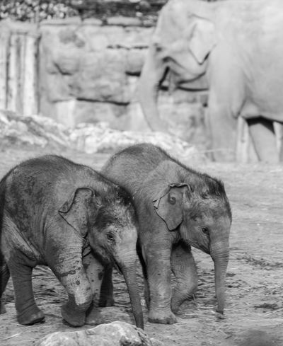 Elephant Animal Themes Animals In The Wild Elephant Calf Young Animal Animal Wildlife Mammal Nature No People Outdoors EyeEm Vision
