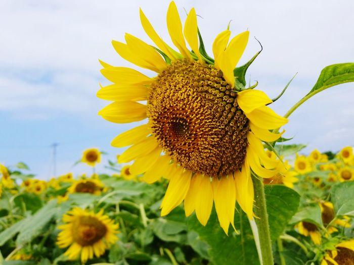 sunflower Summer 夏 ひまわり Flower Head Flower Thistle Black-eyed Susan Yellow Sunflower Leaf Rural Scene Uncultivated Bee