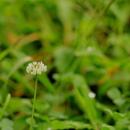 蓮花 れんげそう 蓮華草 Flower Head Flower Summer Close-up Plant Green Color Grass Wildflower